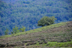Ανάπτυξη τσαγιού στα βουνά Στοκ εικόνα με δικαίωμα ελεύθερης χρήσης