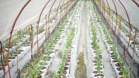 Ανάπτυξη των κρεμμυδιών από το σπόρο Στοκ εικόνες με δικαίωμα ελεύθερης χρήσης