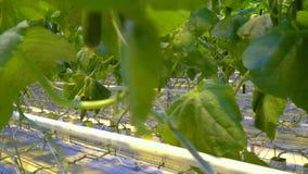 Ανάπτυξη των νέων αγγουριών με hydroponics το σύστημα απόθεμα βίντεο