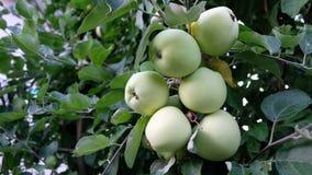 Ανάπτυξη των πράσινων μήλων σε έναν κλάδο δέντρων στη Μολδαβία απόθεμα βίντεο