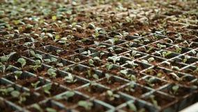 Ανάπτυξη των σποροφύτων στα δοχεία φιλμ μικρού μήκους