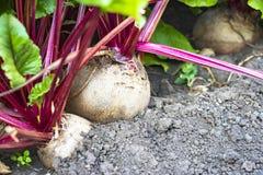 Ανάπτυξη των τεύτλων στον κήπο Στοκ φωτογραφία με δικαίωμα ελεύθερης χρήσης