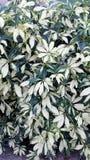 Ανάπτυξη φυτών Schefflera σε έναν φράκτη που παρουσιάζει διαφοροποιημένα φύλλα σε μια μορφή ομπρελών Στοκ φωτογραφία με δικαίωμα ελεύθερης χρήσης