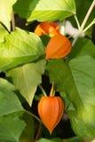 Ανάπτυξη χειμερινών κερασιών στον κήπο Στοκ Εικόνα