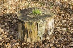 Ανάπτυξη χλόης στο κολόβωμα δέντρων Στοκ φωτογραφίες με δικαίωμα ελεύθερης χρήσης