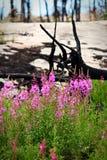 Ανάπτυξη angustifolium Chamerion με τα μμένα δέντρα στο υπόβαθρο Στοκ Εικόνες