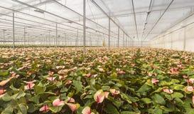 Εγκαταστάσεις λουλουδιών φλαμίγκο σε έναν ολλανδικό βρεφικό σταθμό λουλουδιών Στοκ εικόνα με δικαίωμα ελεύθερης χρήσης