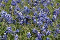 Ανάπτυξη Bluebonnets στο κεντρικό Τέξας τον Απρίλιο Στοκ Φωτογραφίες