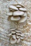 Ανάπτυξη Mushrums στρειδιών στο άχυρο κλείστε επάνω Στοκ Εικόνες