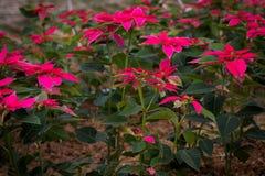 Ανάπτυξη Poinsettias σε έναν τομέα στοκ εικόνες με δικαίωμα ελεύθερης χρήσης