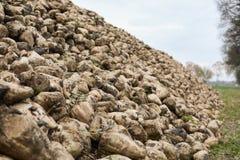 Ανάχωμα της beta vulgaris σακχαρότευτλων Στοκ Φωτογραφίες