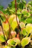 Ανήλικος Heliaphora Στοκ Εικόνες