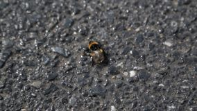 Ανίσχυρο bumblebee στην κινηματογράφηση σε πρώτο πλάνο ασφάλτου, έντομο που υφίσταται τη φτωχή οικολογία στη μεγάλη πόλη απόθεμα βίντεο