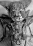 Αναίσχυντες μύγες Στοκ φωτογραφία με δικαίωμα ελεύθερης χρήσης
