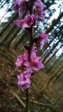 Αναγέννηση ένα πορφυρό λουλούδι Στοκ Εικόνες
