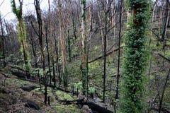 αναγέννηση πυρκαγιάς Στοκ Εικόνα