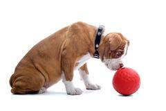 αναγέννηση σκυλιών μπουλ& Στοκ φωτογραφίες με δικαίωμα ελεύθερης χρήσης