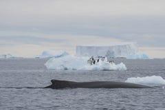 Αναγραφή φαλαινών Humpback Στοκ Φωτογραφίες