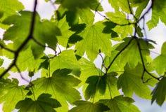 Αναδρομικά φωτισμένα πράσινα φύλλα δέντρων Έννοια εποχής και φύσης Στοκ Εικόνα