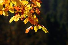 Αναδρομικά φωτισμένα φύλλα οξιών Στοκ φωτογραφίες με δικαίωμα ελεύθερης χρήσης
