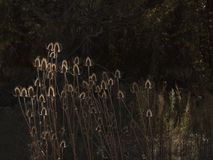 Αναδρομικά φωτισμένες εγκαταστάσεις Cattail σε έναν κήπο Στοκ εικόνες με δικαίωμα ελεύθερης χρήσης