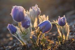 Αναδρομικά φωτισμένο ανατολικό pasqueflower Στοκ φωτογραφία με δικαίωμα ελεύθερης χρήσης