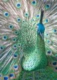αναδρομικά φωτισμένο peacock Στοκ Εικόνες