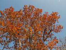 Αναζωογόνηση Mahua του δέντρου Στοκ Φωτογραφίες