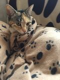 Αναιδές κατώτερο τιγρέ κορίτσι γατών Στοκ εικόνες με δικαίωμα ελεύθερης χρήσης