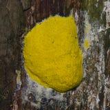 Ανακατωμένη Slime αυγών φόρμα, septica Fuligo, στην κινηματογράφηση σε πρώτο πλάνο δέντρων, εκλεκτική εστίαση, ρηχό DOF στοκ εικόνες