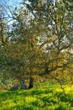 αναμμένο δρύινο δέντρο ηλιοβασιλέματος στοκ εικόνες