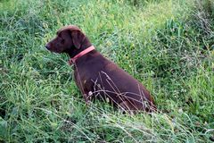 Αναμονή σκυλιών κυνηγιού Στοκ Εικόνες