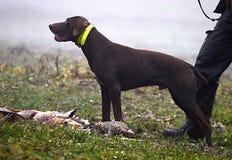 Αναμονή σκυλιών κυνηγιού Στοκ φωτογραφία με δικαίωμα ελεύθερης χρήσης