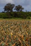 Ανανάδες που αυξάνονται στον τομέα στοκ εικόνες με δικαίωμα ελεύθερης χρήσης