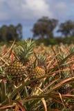 Ανανάδες που αυξάνονται στον τομέα στοκ φωτογραφία
