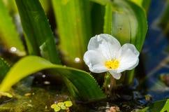 Ανανάς νερού Στοκ φωτογραφίες με δικαίωμα ελεύθερης χρήσης