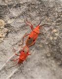 Αναπαραγωγή ή ζευγάρωμα των κόκκινων ζωύφιων καπόκ (nigricornis Probergrothius Στοκ Εικόνα