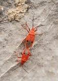 Αναπαραγωγή ή ζευγάρωμα των κόκκινων ζωύφιων καπόκ (nigricornis Probergrothius Στοκ φωτογραφίες με δικαίωμα ελεύθερης χρήσης
