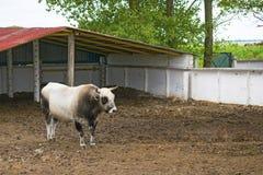 Αναπαραγωγή του γραπτού ταύρου στο αγρόκτημα Φυλετικός ταύρος στο ασβέστιο στοκ εικόνες