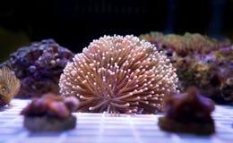 Αναπαραγωγή Anemone στο υποβρύχιο ναυτικό Στοκ φωτογραφία με δικαίωμα ελεύθερης χρήσης