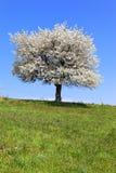 αναπηδήστε το δέντρο Στοκ εικόνες με δικαίωμα ελεύθερης χρήσης