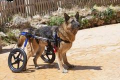 αναπηρική καρέκλα σκυλιών Στοκ Φωτογραφία