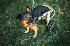 Αναπηρική καρέκλα σκυλιών Στοκ φωτογραφίες με δικαίωμα ελεύθερης χρήσης