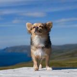 Αναπνέοντας καθαρός αέρας Chihuahua ενάντια στο βόρειο τοπίο της Νορβηγίας Στοκ εικόνες με δικαίωμα ελεύθερης χρήσης