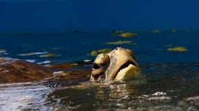 αναπνέοντας χελώνα θάλασ&sig Στοκ φωτογραφία με δικαίωμα ελεύθερης χρήσης