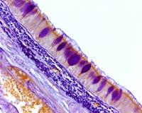 Αναπνευστικό επιθήλιο Goblet κύτταρα στοκ φωτογραφία