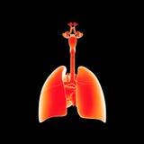 Αναπνευστικό σύστημα και μεταγενέστερη άποψη καρδιών απεικόνιση αποθεμάτων