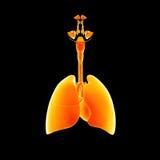 Αναπνευστικό σύστημα και προηγούμενη άποψη καρδιών ελεύθερη απεικόνιση δικαιώματος