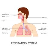 Αναπνευστικό σύστημα Στοκ Εικόνα
