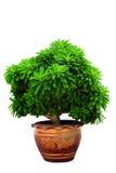 αναπτυγμένα δοχεία φυτών Στοκ Εικόνα